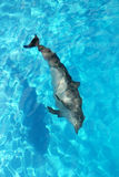 Dolphin alone high angle view turquoise water Royalty Free Stock Image