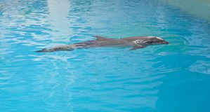 Dolphin animal at the dolphinarium. Arena royalty free stock images