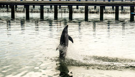 Dolphin. At an aquarium jumping in the air royalty free stock photography