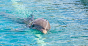 Dolphin Royalty Free Stock Photo