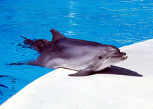 Dolphin is in the arena. Dolphin jumped half out of water Stock Photography