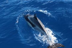 dolphin in atlantic ocean royalty free stock photos