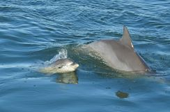 Dolphin with baby. Swimming along side mother, on the Australian east coast stock images