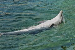 Dolphin back float. Dolphin living the life doing tricks and back float stock images