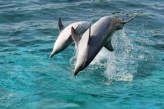 Dolphin backflip jump. Bottlenose dolphin leaping out of the blue water onto their backs Royalty Free Stock Photos