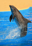Dolphin backward. Dolphin going backward with the force of the back! impressive royalty free stock photo