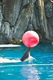 Dolphin with a ball. Dolphin performs a show with a ball in aquarium in Thailand 'Safari World Stock Photography