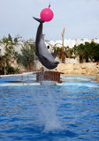 Dolphin and a ball. Canon 20D. It is photographed in delphinariums of Egypt Stock Photography