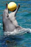 Dolphin and ball. Dolphin with a ball in it's wide open mouth Royalty Free Stock Photo
