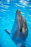 Dolphin in basin of oceanarium Royalty Free Stock Photo