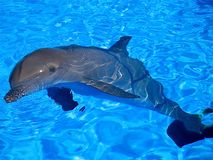 dolphin bathing in a swimming pool Royalty Free Stock Photography