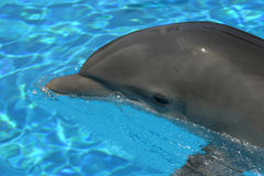 Dolphin Beauty. A graceful dolphin swims in a pool Royalty Free Stock Photo