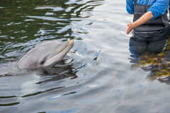 Dolphin being trained Royalty Free Stock Images