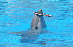 Dolphin in blue water. Playing with red and white striped hoop stock images