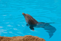 Dolphin  in blue water Stock Photos