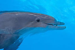 Dolphin in blue water Stock Photo
