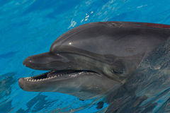 Dolphin in blue water Royalty Free Stock Image
