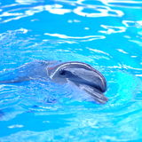 Dolphin in blue water Royalty Free Stock Photo