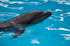 Dolphin in blue water Stock Images