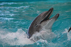 Dolphin. In blue water, smiling Royalty Free Stock Image