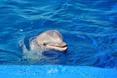 Dolphin. Bottle Nosed Dolphin in blue water Royalty Free Stock Images