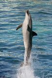 Dolphin Bottlenose. Dolphin jumping straight up out of blue water royalty free stock photo