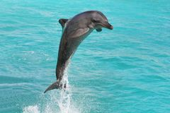 Dolphin Bottlenose Stock Images