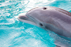 Dolphin. A bottlenose dolphin in the water Stock Images