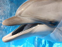 Dolphin. Bottlenosed s in blue water royalty free stock image