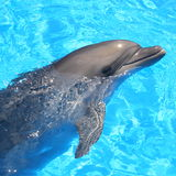 Dolphin. Bottlenosed s in blue water royalty free stock photo