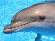 Dolphin. Bottlenosed s in blue water royalty free stock photography
