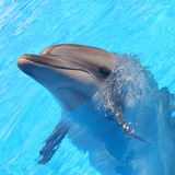 Dolphin. Bottlenosed s in blue water stock photography