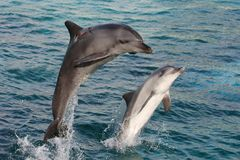 Dolphin Bow Jump Stock Photos