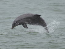 Dolphin Breach Stock Photo