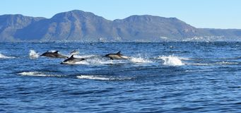 Dolphin breaching, False Bay, South Africa. Common dolphin breaching in False Bay, South Africa stock photography