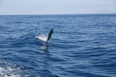 Dolphin breaching ocean. Scenic view of Dolphin breaching ocean waves royalty free stock image