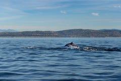 Dolphin breaching off Orange County and Newport coast royalty free stock photo