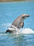 Dolphin breaching sea Royalty Free Stock Photography