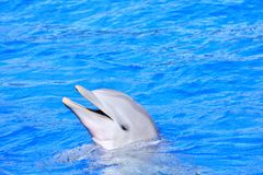 Dolphin in bright blue water Stock Images
