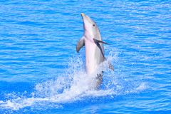 Dolphin in bright blue water Royalty Free Stock Images