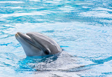 Dolphin in Captivity. Nose of a dolphin coming out from the water during a show for children Stock Photos
