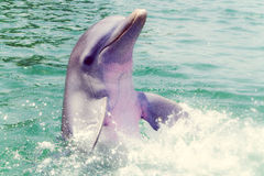 Dolphin in Caribe Stock Photo
