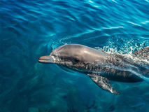 Dolphin in the clear sea water. Dolphin floating in the clear sea water Stock Photo