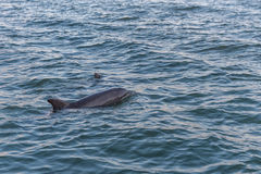 Dolphin in Clearwater. Sunset time. Royalty Free Stock Image