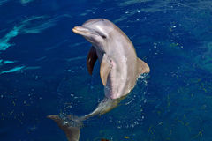 Dolphin. Close in the sea potrrait Stock Images