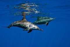 Group of Dolphins Underwater Close encounter Stock Images