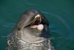 Dolphin Close Up Royalty Free Stock Photo