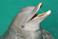 Dolphin. Close up photo of a dolphin Stock Images