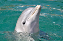 Dolphin Close Up Portrait Royalty Free Stock Photography