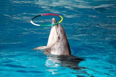 Dolphin with colored hoop Royalty Free Stock Photos